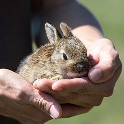 man's hands holding a baby rabbit (image: Lubos Houska / Pixabay)